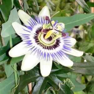 Passiflora 300x300 DSC00546