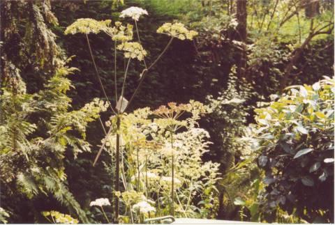 Ook engelwortel groeit in de tuin.