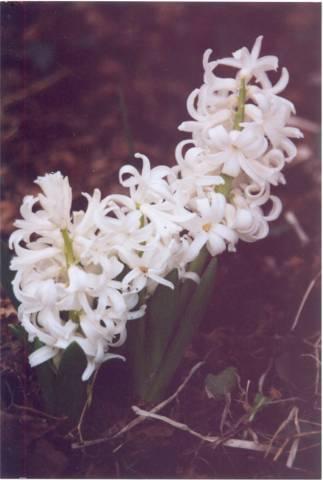 Hyacintb