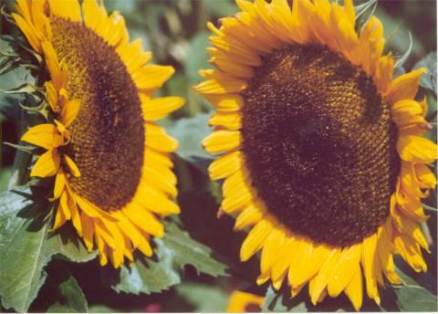 zonnebloemb